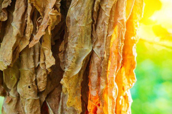 Tabak fermentieren: So wird aus der Tabakpflanze eine Zigarre